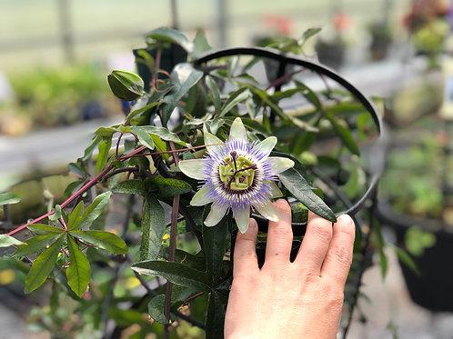 Passion Flower Vine
