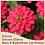 Thumbnail: Zinnia Zahara Double Cherry 6 pack