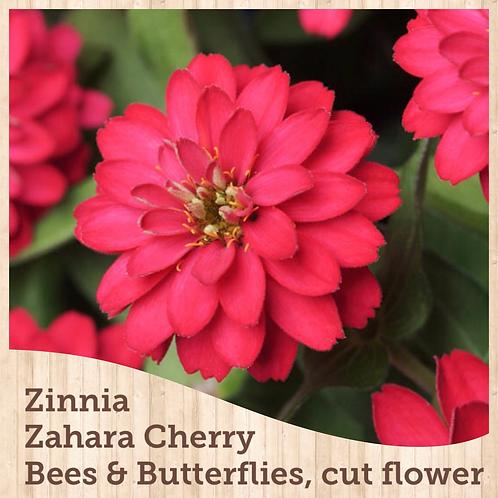 Zinnia Zahara Double Cherry 6 pack