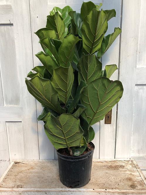 """10"""" Ficus, Fiddle Leaf Bush"""
