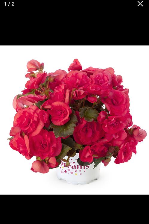 "Begonia Solenia Dusty Rose 6"" round pot"