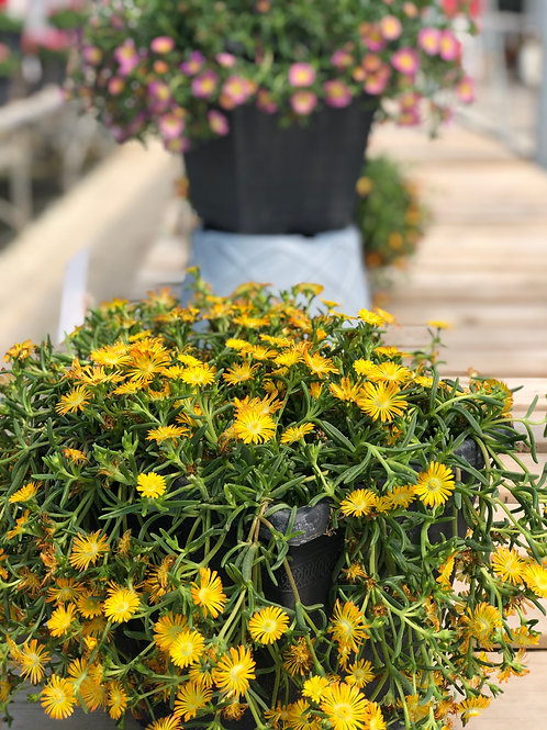 "Delosperma {Ice Plant} Yellow 3.5"" pot"
