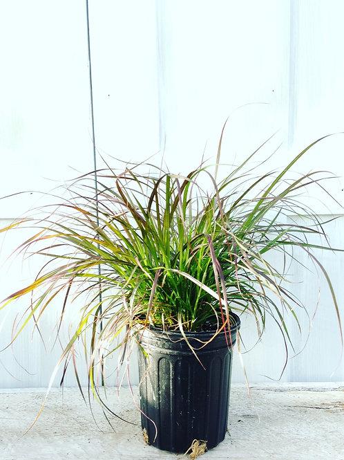 """Grass Pennisetum Rubrum 3.5"""" pot"""