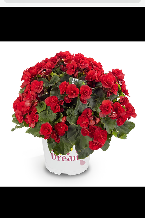 "Begonia Solenia Cherry 6"" round pot"