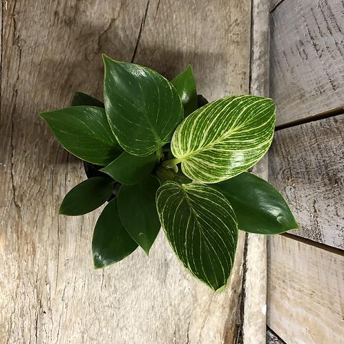 "Houseplant 4"" Philodendron Birkin"