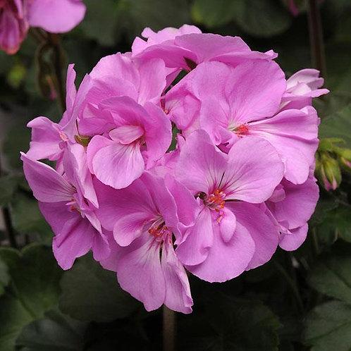 "Geranium Zonal Moonlight Lavender 3.5"" pot"
