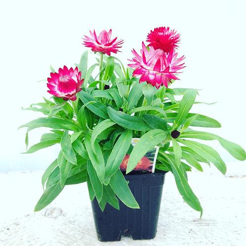 "Strawflower Bracteantha Cottage Pink 3.5"" pot"