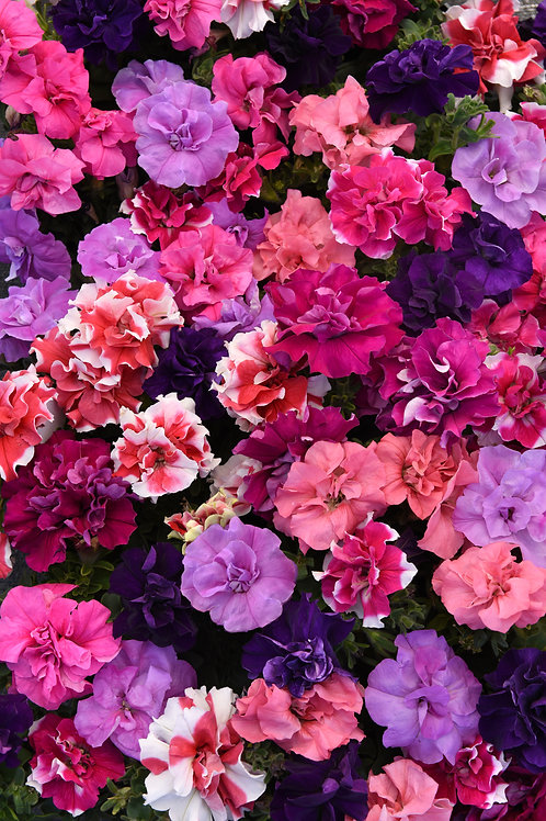 Petunia Double Madness Mix 6 pack
