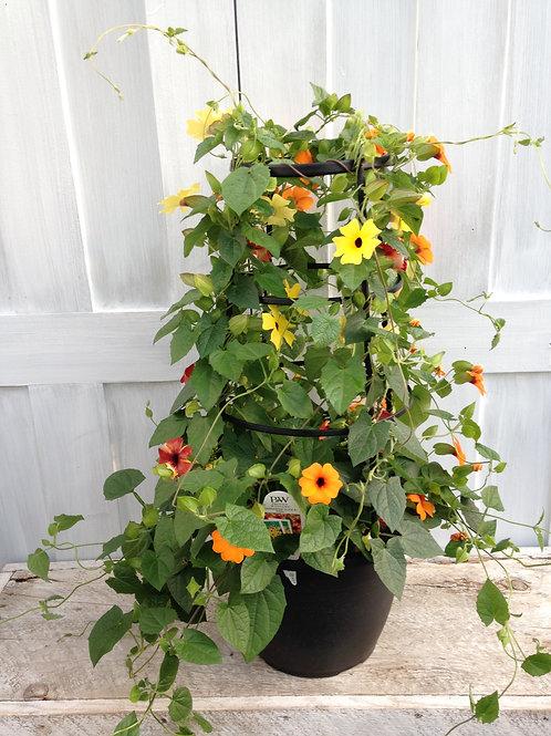 Thunbergia Sunny Susy Lemon Sunrise 1 gallon pot