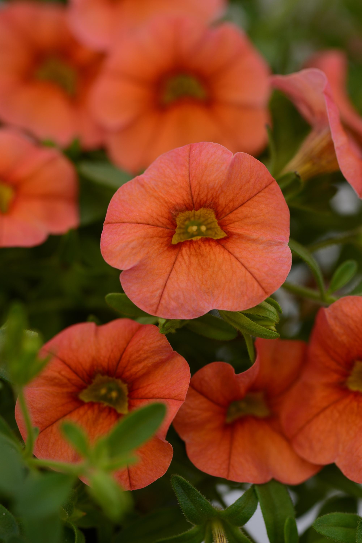 Calibrachoa_MiniFamous_Compact_Orange_Bloom_11571