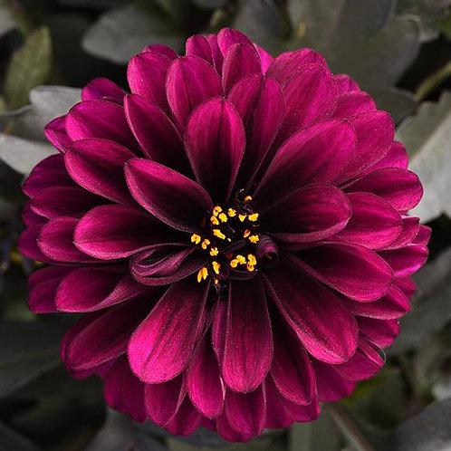 "Dahlia {Purple} City Lights 6"" pot"