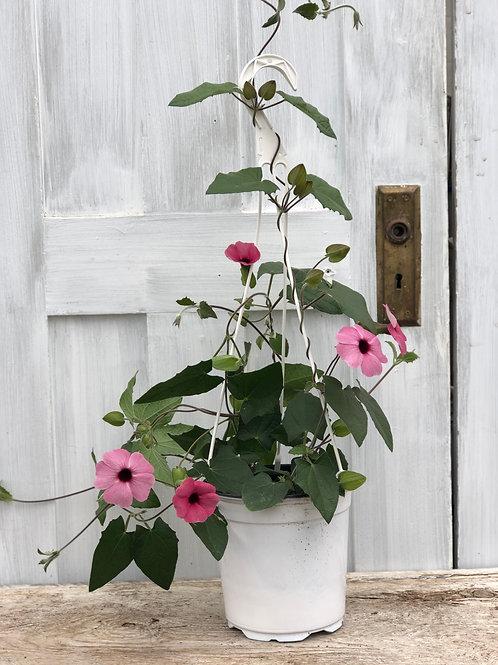 Thunbergia Sunny Susy Pink Beauty 1 gallon pot