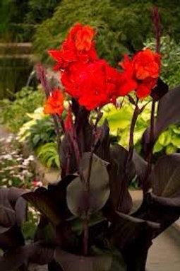 "Canna Bronze Scarlet 3.5"" pot"
