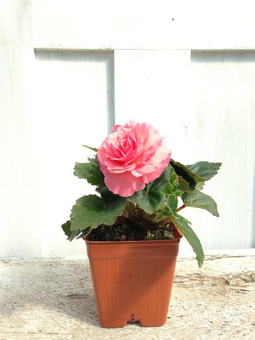 "Begonia NonStop Pink 3.5""pot"