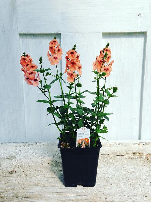 "Diascia Towers of Flowers Apricot 3.5"" pot"