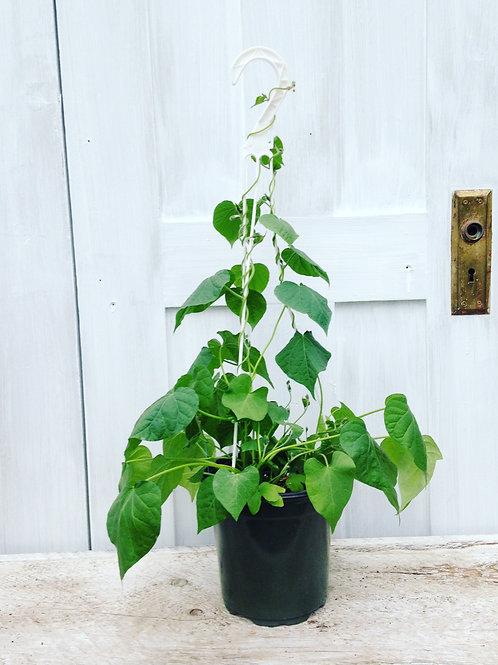 Moon Flower Vine 1 gallon pot