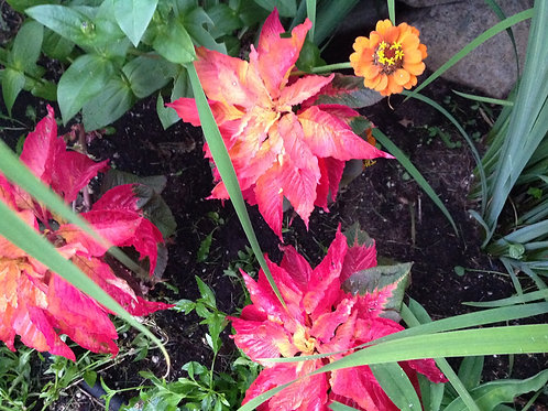 "Amaranthus Carnival 3.5"" pot"