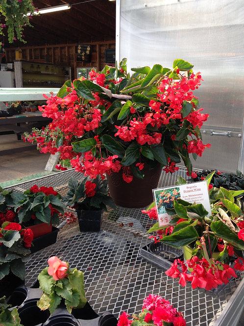 """Begonia Dragon Wing Red 3.5"""" pot"""