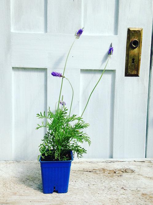 Lavender Pinnata -Herb