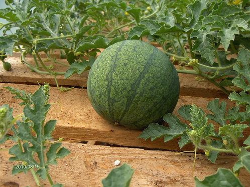 "Watermelon - 2.5"" Pot"