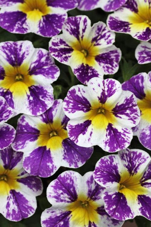 "Calibrachoa Candy Shop Grape Splash 3.5"" pot"