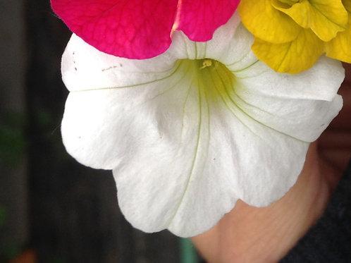 Calibrachoa Aloha Kona Sunshine