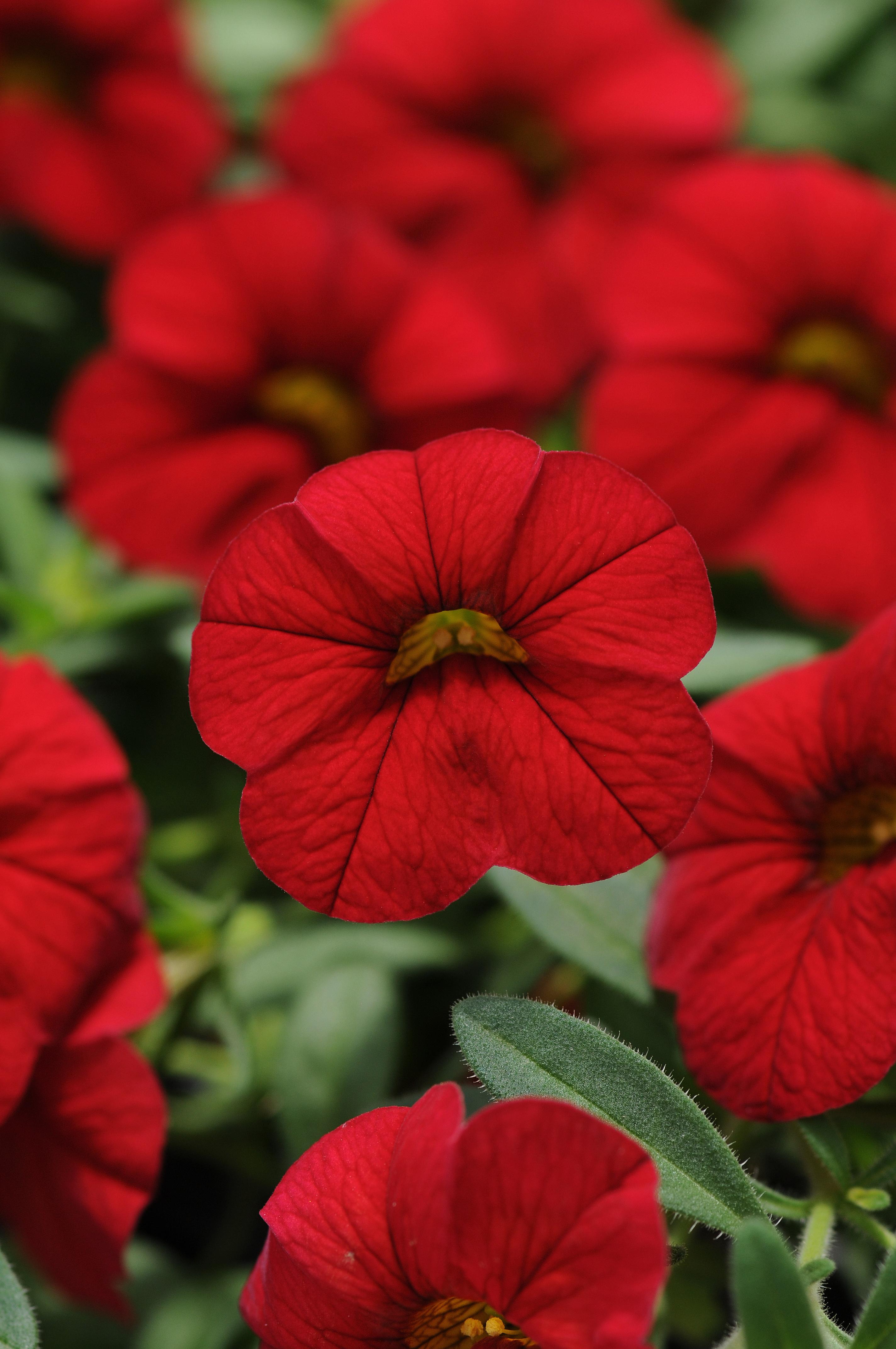 Calibrachoa_Cabaret_Bright_Red_Bloom_2616