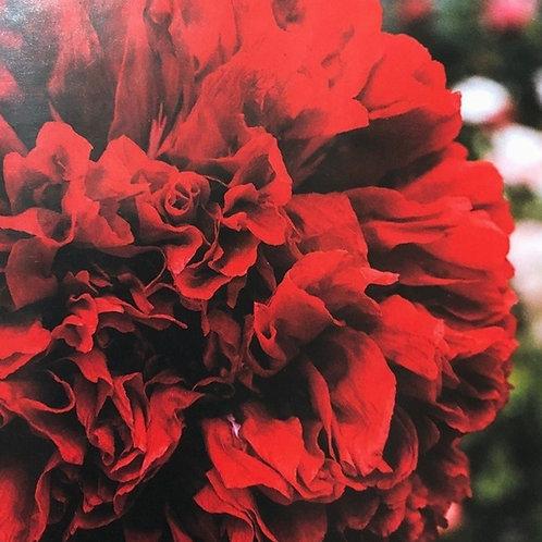 "Poppy Scarlet Peony 3.5"" pot"