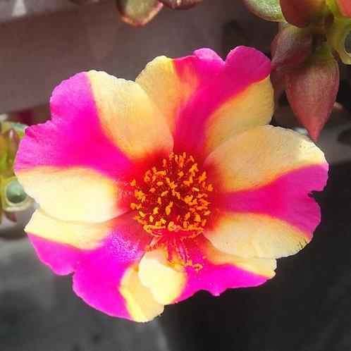 """Portulaca Raspberry Lemonade 3.5"""" pot"""