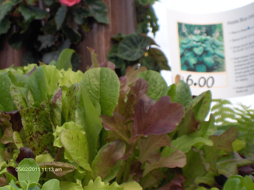 Mixed Lettuce 6 pack