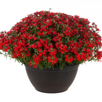 "Nemesia Angelart Strawberry 3.5"" pot"