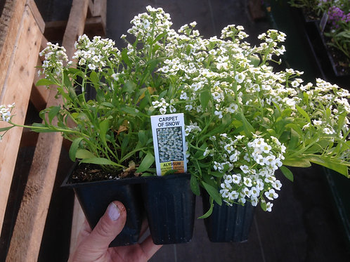Alyssum White  6 pack