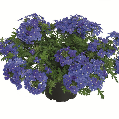"Verbena Vepita Blue Pearl 3.5"" pot"