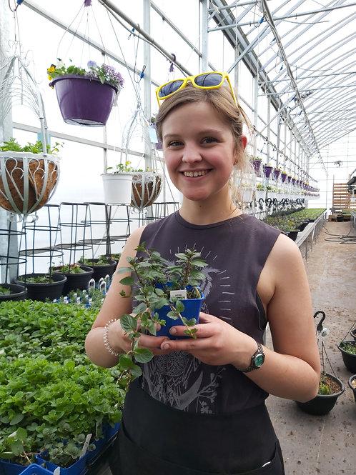 Mint Peppermint - Herb