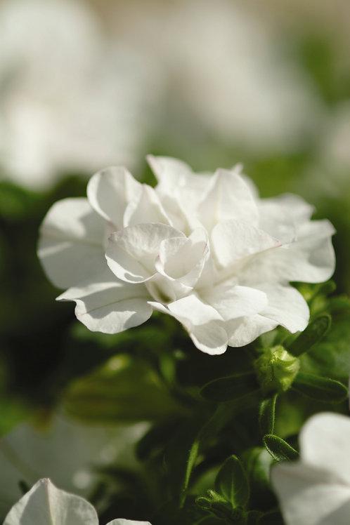 "Petunia Double Wave White - 3.5"" pot"