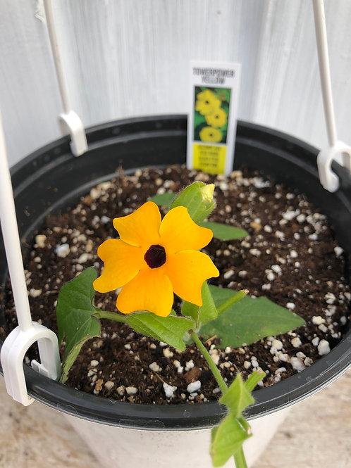 Thunbergia Tower Power Yellow 1 gallon pot
