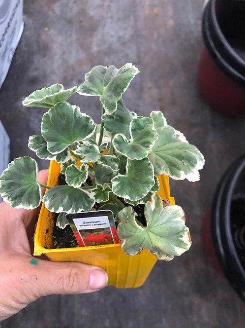"""Geranium Fancy Leaf Wilhelm Langguth 3.5"""" pot"""