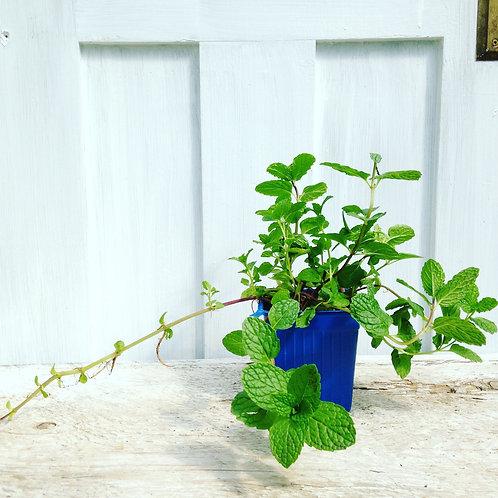 Mojito Mint - Herb