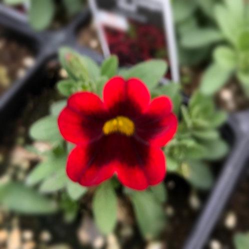 "Calibrachoa Bloomtastic Cherry 3.5"" pot"
