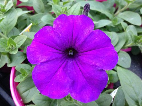 """Petunia Easy Wave Blue {purple} - 3.5"""" pot"""