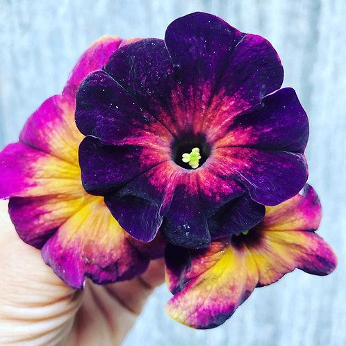 """Petunia Crazytunia Moonstruck - 3.5"""" pot"""
