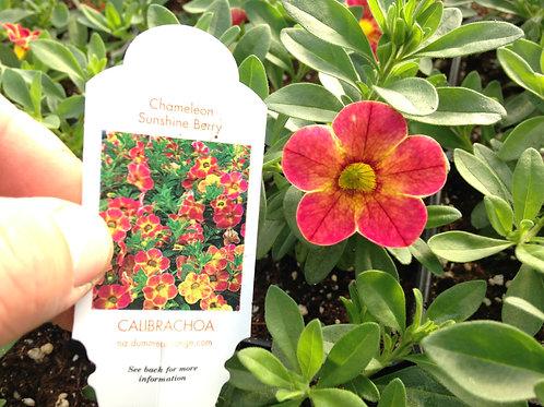 """Calibrachoa Chameleon Sunshine Berry 3.5"""" pot"""