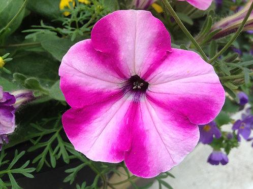 "Petunia Headliner Raspberry Swirl - 3.5"" pot"
