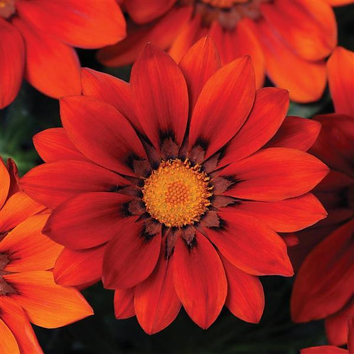 Gazania New Day Red Shades 6 pack