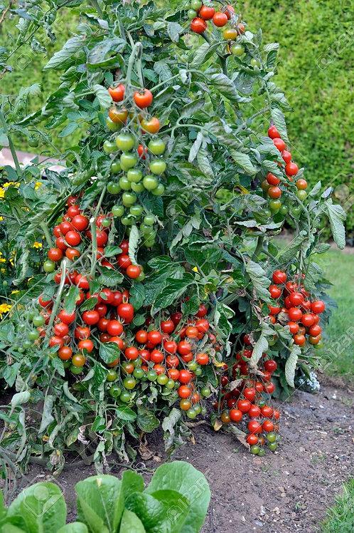 """Tomato Sweet Million- 3.5"""" Pot"""