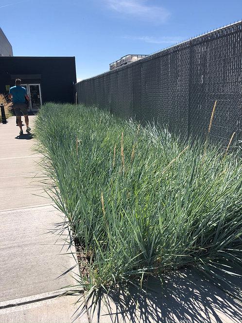 "Grass Ornamental Elymus Icy Blue Grass 3.5"" pot"
