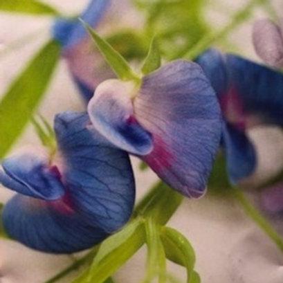 "Sweet Pea Azureus Blue 2.5"" pot"