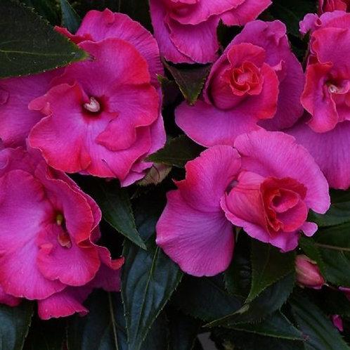 "Impatiens Roller Coaster Hot Pink {double flowers} 3.5"" pot"
