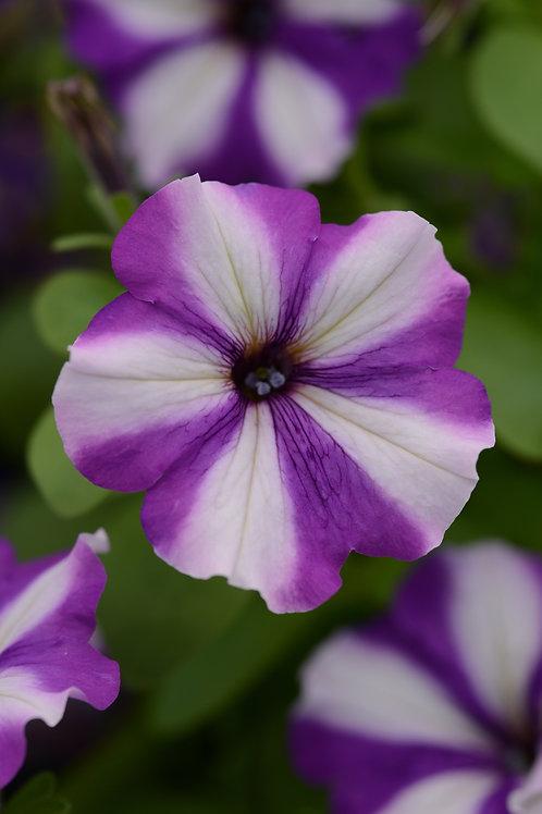 "Petunia Headliner Blueberry Swirl - 3.5"" pot"