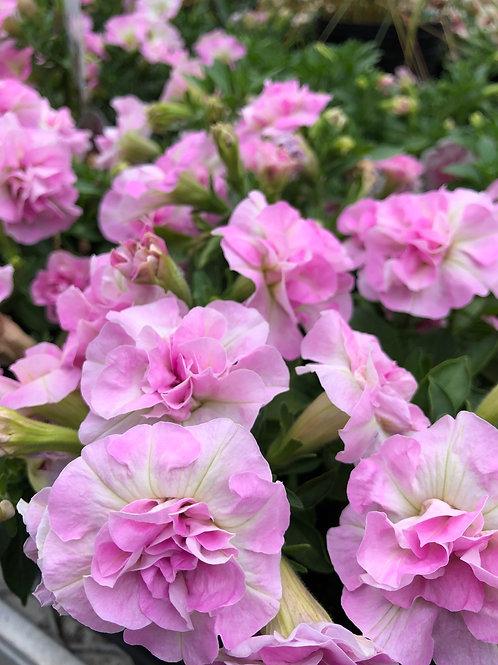 "Petunia Double SweetSunshine Light Pink 3.5"" pot"